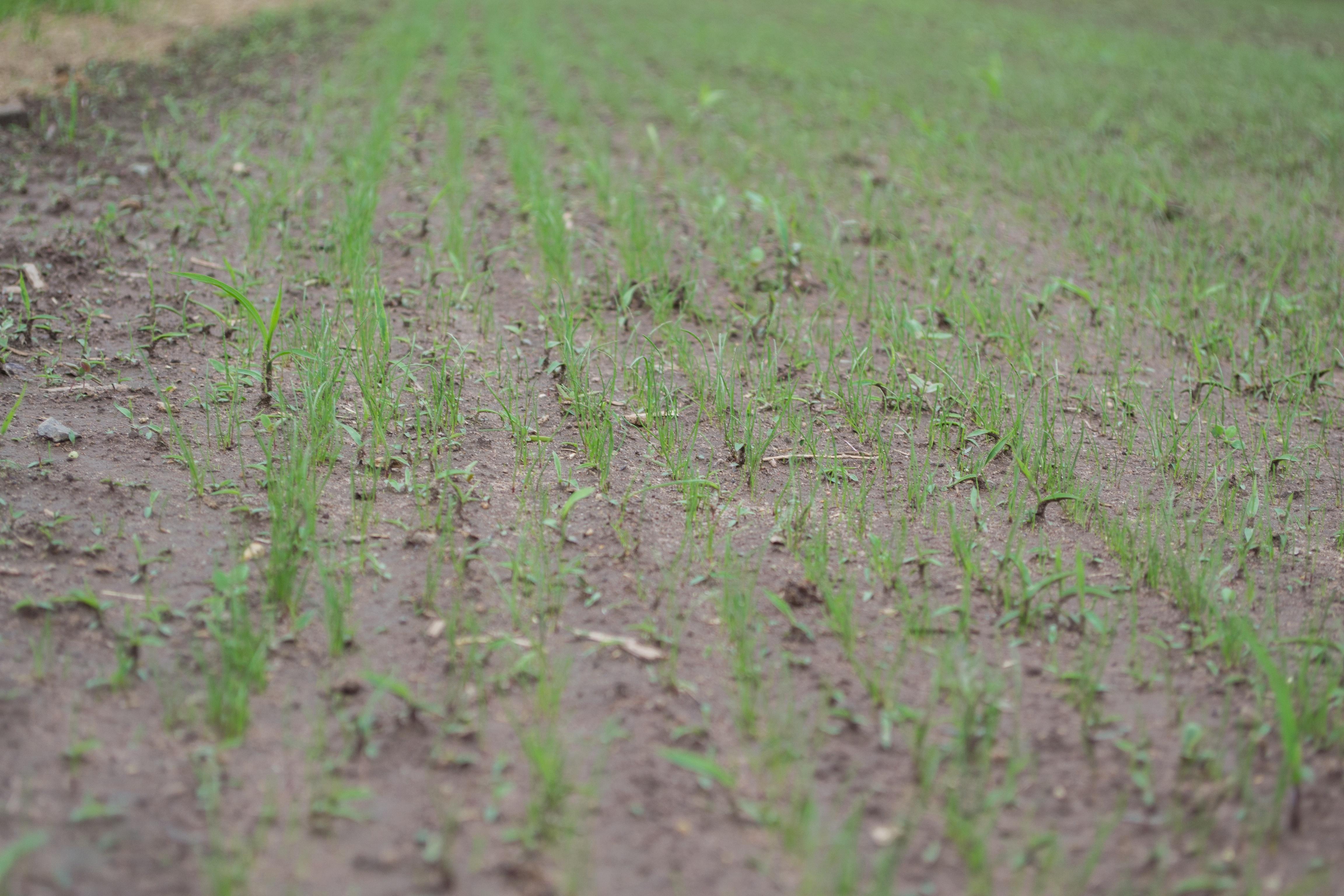Slit Seeded Grass