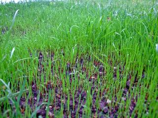 lawn-new-grass-seed-li758462grass-seed-dscf295[1].jpg